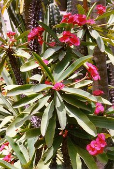 Euphorbia millii hybrid  Everblooming Crown of Thorns for continual color and low water.
