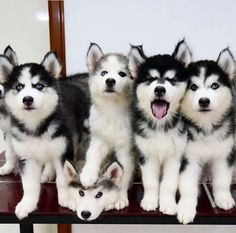 Wonderful All About The Siberian Husky Ideas. Prodigious All About The Siberian Husky Ideas. Cute Baby Animals, Animals And Pets, Funny Animals, Cute Puppies, Cute Dogs, Dogs And Puppies, Doggies, Corgi Puppies, Malamute Puppies
