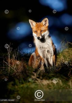Red Fox, England Uk, Woodland, Cute, Outdoor, Animals, Animales, Outdoors, Animaux