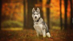 Pies, Siberian husky, Leśna, Polana