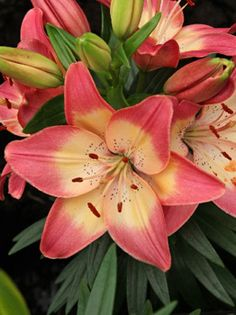 Asiatic Lily - Lilium 'Tiny Dancer'