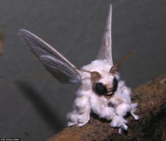Poodle Moth from Kirghiz