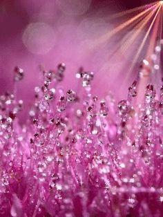 "morning dew on the Sedum in our garden (bot. ""Sedum spectabile""), German: fette Henne morning dew in pink"
