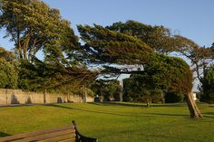 The famous windblown tree on Clevedon sea front. Tree Shapes, Somerset, Travel Around, Mother Nature, Golf Courses, Globe, Sidewalk, Trees, Gardening