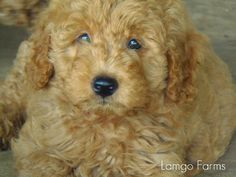 Check out https://www.lamgofarms.com!  Mini Goldendoodles, f2b, f2bb and f1b minigoldendoodle puppies of Lamgo Farms, Texas mini goldendoodle breeder of hypoallergenic non shedding dogs family raised in our home, a variety of colors from white to cream to apricot and red.  Home of the F2bb and Pocket Goldendoodles.