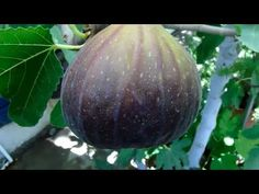 Great secrets and gardening tricks that I bet you do not know PART 1 Fig Tree, Youtube, Organic Gardening, Bonsai, Avocado, Spanish, Gardens, Gardening, Hair