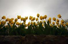 Kίτρινες Τουλίπες Κωνσταντινούπολη