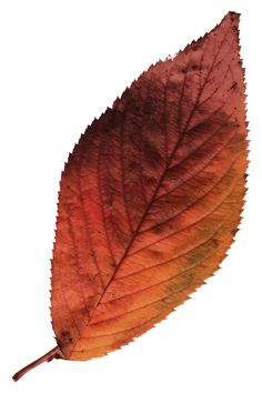 Leaf 4 ~ Art by Billy Frank Alexander ~ Watercolor Leaves, Watercolor Paintings, Trees To Plant, Plant Leaves, Botanical Drawings, Botanical Art, Autumn Painting, Leaf Art, Paint Shop