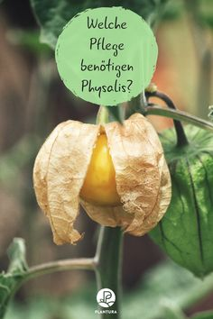 Physalis pflegen: Tipps zum Ausgeizen, Düngen & Co What kind of care do physalis need? And do the plants actually have to be outdated or cut? Do physalis need a special fertilizer? This and much more you will learn here at Plantura. Garden Plants Vegetable, Vegetable Sides, Garden Types, Garden Care, Gardening For Beginners, Gardening Tips, Hydrangea Care, Homemade Tomato Sauce, Organic Fertilizer