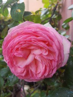 Rosa inglese maggio2018