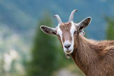 この角をもつ動物の鋭い眼は、何世紀も前から私たちの心を魅了するはずだったのに…… | ヤギは過小評価されている。それを証明する15枚の写真