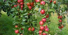 Home And Garden, Apple, Cottages, Gardening, House, Sun, Lawn And Garden, Plant, Apple Fruit
