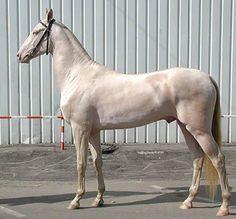 Horses for sale - Akhal-Teke Horse Russia Esthetic For sale IZABLLOVYJ AXALTEKINSKIJ