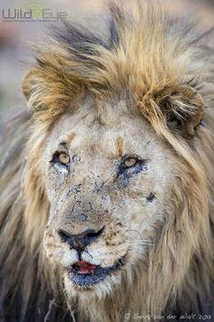 Portrait of a lion - Gerry van der Walt