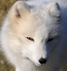 Arctic Fox by orvaratli - Örvar Atli Þorgeirsson Animals And Pets, Baby Animals, Cute Animals, Fantastic Fox, Arctic Fox, White Fox, Fox Art, Creature Feature, Beautiful Creatures