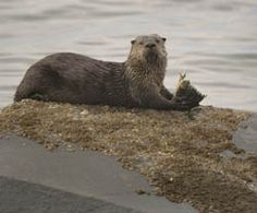 A river otter lying on a rock and eating a fish in the Strait of Juan de Fuca.  Click the picture to learn more about where you can find river otters in in the Olympic National Park.