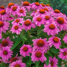 PowWow<sup>®</sup> Wild Berry Coneflower Bright Flowers, Tropical Flowers, Spring Flowers, Lawn And Garden, Garden Pots, Potted Garden, Spring Hill Nursery, Outdoor Flowers, Pow Wow
