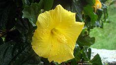 Hibiscos na chuva