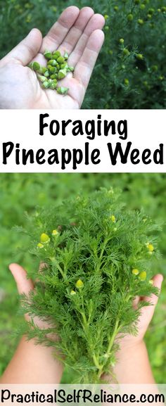 Foraging Pineapple Weed Pineapple weed (Matricaria discoidea) is often one of the first plants a budding forager tries as Organic Gardening, Gardening Tips, Vegetable Gardening, Pallet Gardening, Fairy Gardening, Gardening Quotes, Herbs Garden, Planting Vegetables, Garden Pests