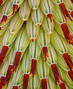 South Africa Showy Aloe - Shown: Detail of inflorescence showing opened flowers and unopened buds. Photo by J.G. in S.F.