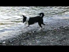 TrailAgain | Bodie - wave chasing karelian bear dog