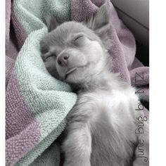 Comfortable chihuahua! #Chihuahua