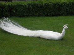 """فاتنٌ جماله يسرق الأنظار """" الطاووس الأبيض """" يأخذ استراحة"""