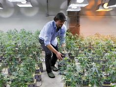 As marijuana goes legit, investors rush in