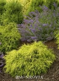Sungold Thread-Branch Cypress - Compact, mounding shrub with consistent golden yellow new foliage, even in full sun. Excellent mop-headed accent plant that makes nice background border or small hedge. Evergreen Shrubs, Trees And Shrubs, Garden Shrubs, Garden Plants, Patio Plants, Outdoor Planters, Garden Art, Garden Design, Irrigation