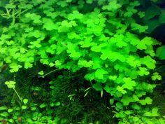 "The aquatic plant, Hydrocotyle tripartita is also called ""mermaid"" plant."