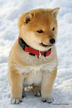 Why you should own a Shiba Inu!