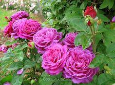heidi klum rose roses in russian privet gardens. Black Bedroom Furniture Sets. Home Design Ideas