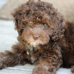 Quimby the Labradoodle -- Puppy Breed: Labrador Retriever / Poodle