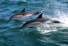 Dolphin Love. Learn how Dolphins become Entertainment.