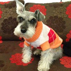 #FashionFriday: Trendy Terry the Mini #Schnauzer #dogclothes #dogfashion #dogs