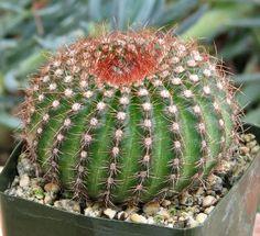 Notocactus Vanvlietii Cactus plante