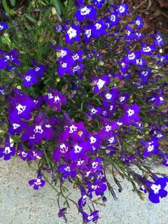 Lobelia (lobelia erinus): This common edging plant grows about 12 cm high and spreads 15 to 40 cm wide. Flowers are usually blue, purple, or white.