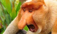 Resultado de imagem para macaco narigudo imagens