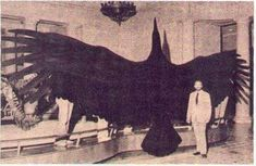 30 Weird Historical Facts You Definitely Never Learned in History Class (Slide - Offbeat. This is the Magnificent Argentine Bird, one of the largest birds ever to exist. It had a wingspan of up to 21 feet. Extinct Animals, Prehistoric Animals, Extinct Birds, Photo Choc, Mothman, Cryptozoology, Big Bird, Large Animals, Giant Animals