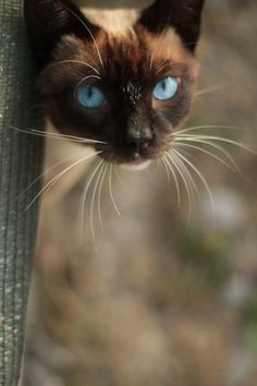 Siamese cat. I've had a LOT of cats over the years. Our farm was a cat sanctuary for many years. We've only had one Siamese cat. She was our first cat and our favorite. She was such a sweet kitty who loved children and baby animals. She's sorely missed.