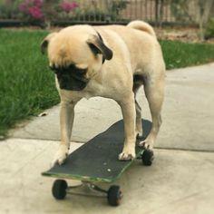 Pug Rides Skateboar #pug Rides Skateboard