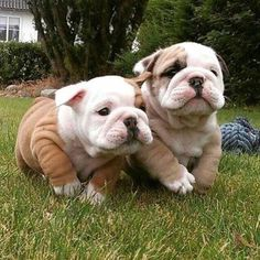 The major breeds of bulldogs are English bulldog, American bulldog, and French bulldog. The bulldog has a broad shoulder which matches with the head. The skin of the bulldog is thick and folded on its Cute Funny Animals, Cute Baby Animals, Cute Bulldogs, Baby Bulldogs, French Bulldogs, Mini English Bulldogs, English Bulldog Puppies, English Mastiff, British Bulldog