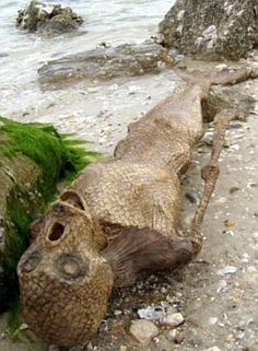 I happened to run across one of those mermaid corpses while jogging a secluded Lake Michigan beach a couple of years ago. It was up north and near Ba Lar Nie Point, which is between the small communities of Itelalii Village and Bowsheet Cove.  @Garrett Steinberger Had to pin it for you, Garrett!