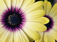 Yellow purple Osteospermum Yellow, Purple, Nature, Plants, Garden, Garten, Purple Stuff, Naturaleza, Planters