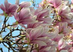 Pure #Romantik im  #April #Frühling: Magnolienblüten