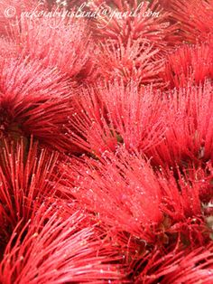 Ohia Lehua hawaiian plants site  http://pinterest.com/kolaula/hawaiian-plants/