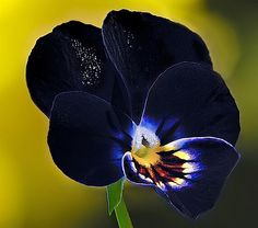blue orchid. pansies try 2 mimic the most beautiful flower.