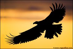 Bald eagle at sunset: Photo by Photographer Miguel Lasa - photo.