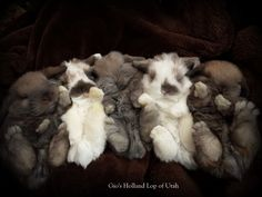 Holland Lop babies - Hoping for these colors in my next litter! got to find the right buck(: Funny Bunnies, Baby Bunnies, Cute Bunny, Bunny Rabbits, Holland Lop Bunnies, Dwarf Bunnies, Fluffy Bunny, Honey Bunny, Jolie Photo
