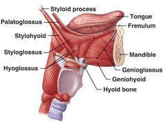 Mandible & Tongue Muscles